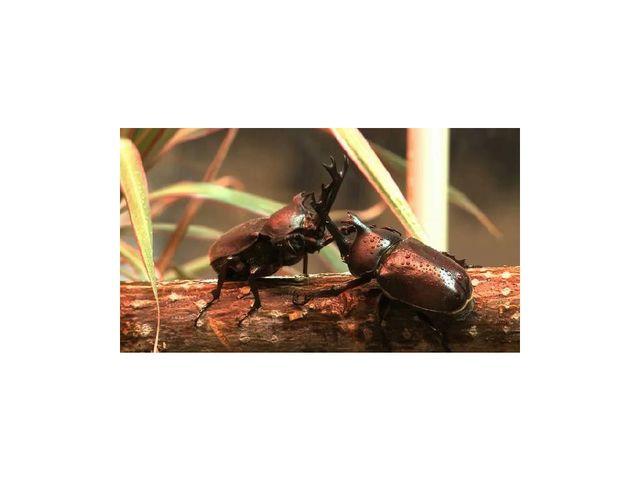 Размножение жуков. Стадии развития жуков. Самцы практически всех видов жестко...