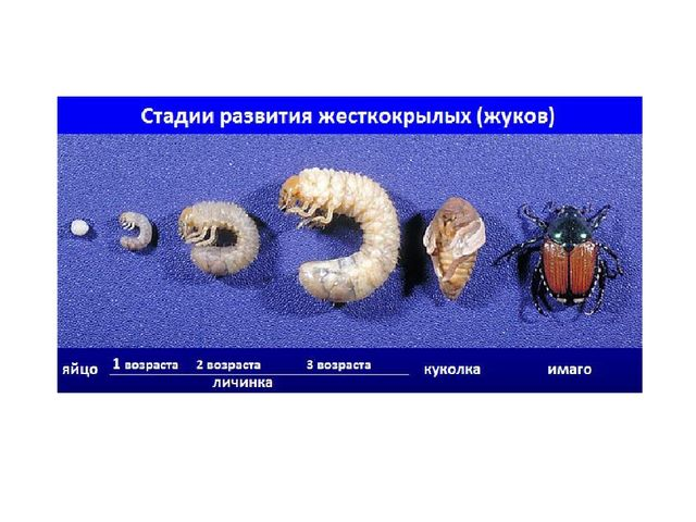 Жесткокрылые относятся к высшим насекомым, поэтому их жизненный цикл происход...