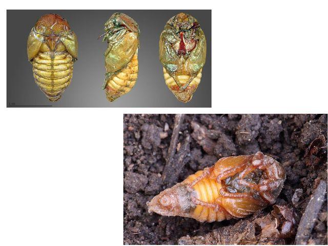 Стадия куколки жука.Практически все жесткокрылые, независимо от среды обитан...