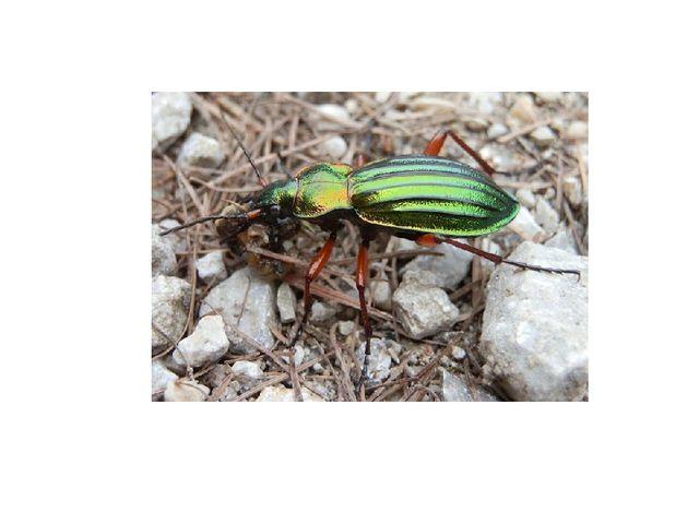 Жуки, обитающие на поверхности земли, имеют сильновыпуклую верхнюю часть и до...