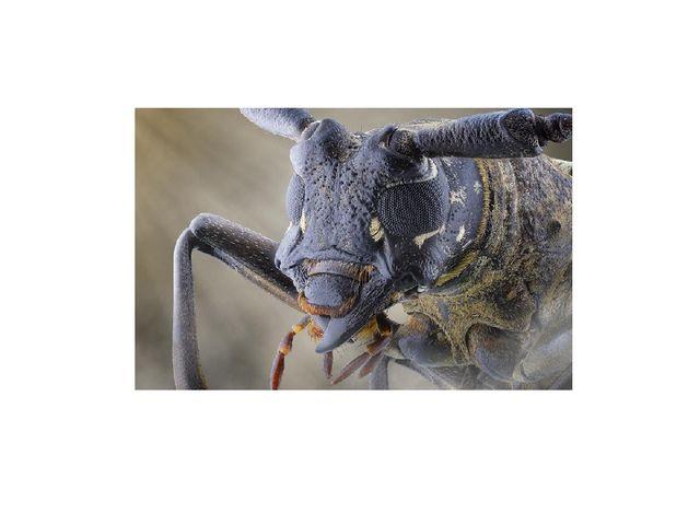 По бокам располагаются хорошо развитые, сложные фасеточные глаза жука, состоя...