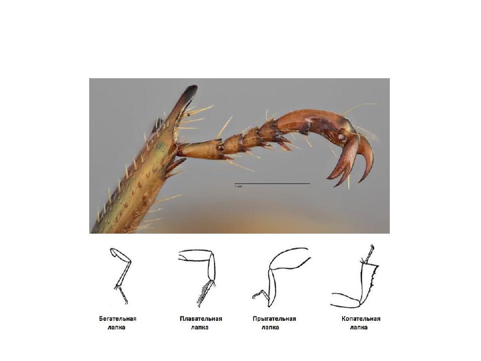 В зависимости от образа жизни жука (жесткокрылого) внешний вид конечностей мо...