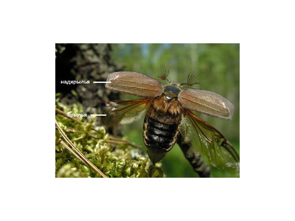 У видов с редуцированными нижними крыльями надкрылья обычно срастаются, образ...