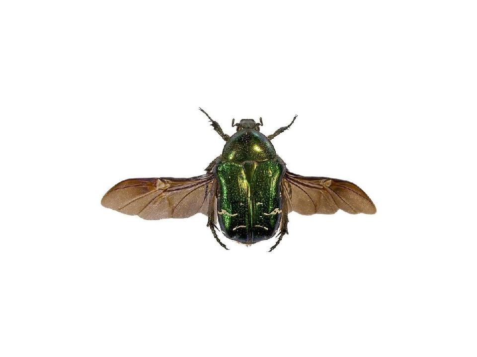 Нижние перепончатые крылья жуков обычно прозрачные и могут быть слабоокрашен...