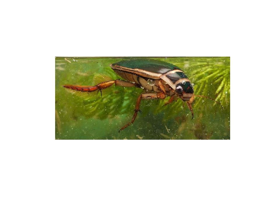 Форма тела жуков зависит от среды обитания и видовой принадлежности. У водных...