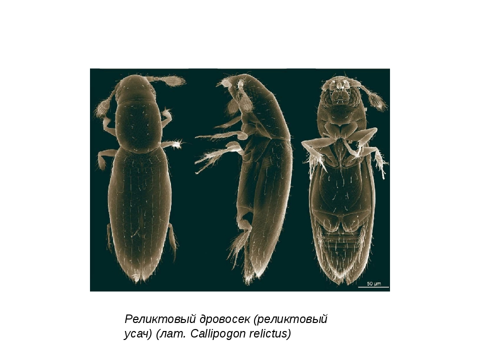 Реликтовый дровосек (реликтовый усач) (лат. Callipogon relictus)