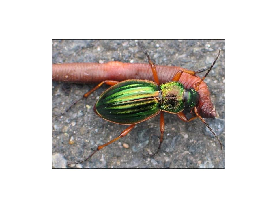 Чем питаются жуки? Среди насекомых, входящих в отряд жесткокрылые, встречаютс...