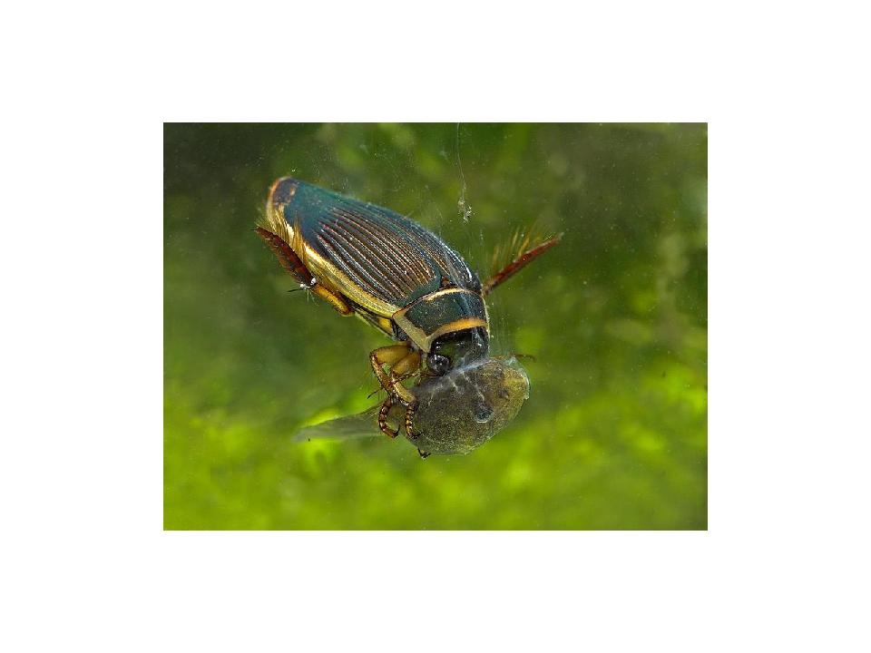 Жесткокрылые своей жизнедеятельностью оказывают положительное влияние на экос...