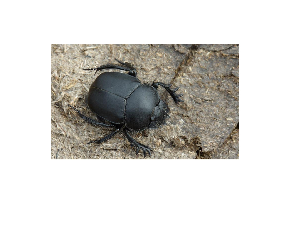 Для жуков, живущих в почве, характерна слегка выпуклая форма тела с мощной, р...