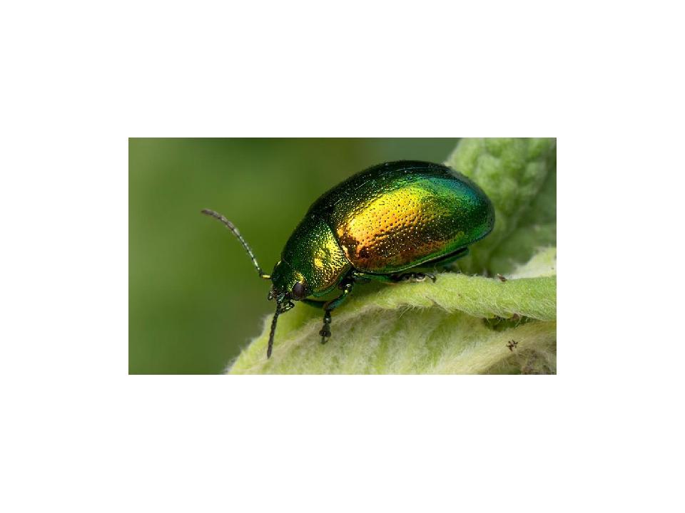 Листоеды (лат. Chrysomelidae). В состав этого семейства входят более 36 тыс....