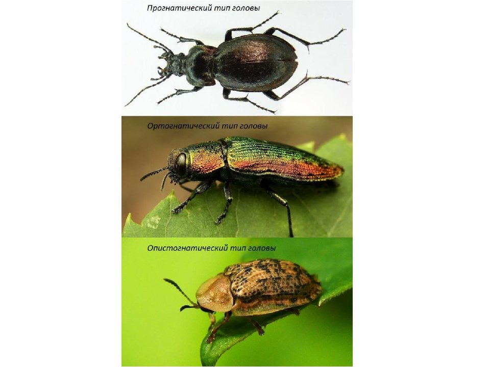 Голова жука может быть: Прогнатической (ротовые органы и усики направлены впе...