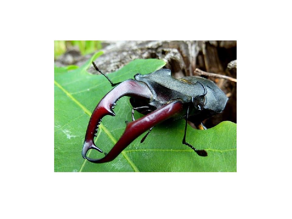 Ротовой аппарат большинства жуков, предназначенный для измельчения пищи, сост...