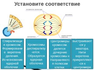Установите соответствие Спирализация хромосом. Формирование веретена деления.