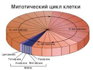 Митотический цикл клетки