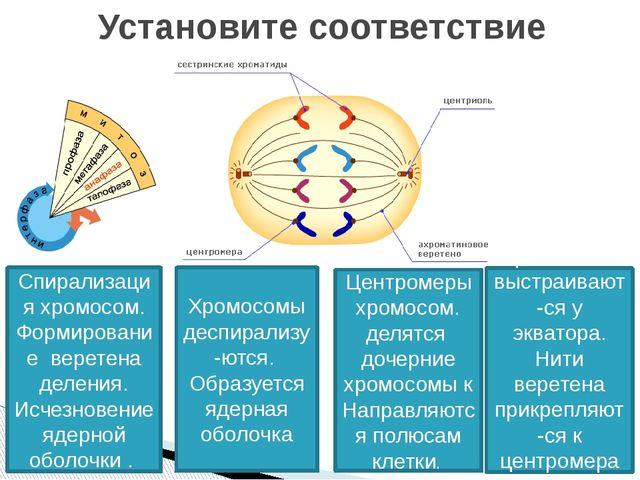 Установите соответствие Спирализация хромосом. Формирование веретена деления....