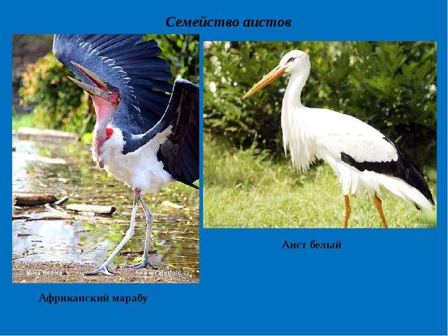 Семейство аистов Африканский марабу Аист белый