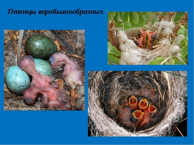 Птенцы воробьинообразных