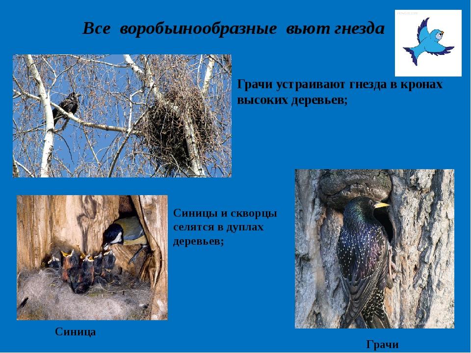 Все воробьинообразные вьют гнезда Грачи устраивают гнезда в кронах высоких де...