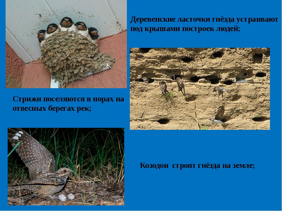 Деревенские ласточки гнёзда устраивают под крышами построек людей; Стрижи пос...