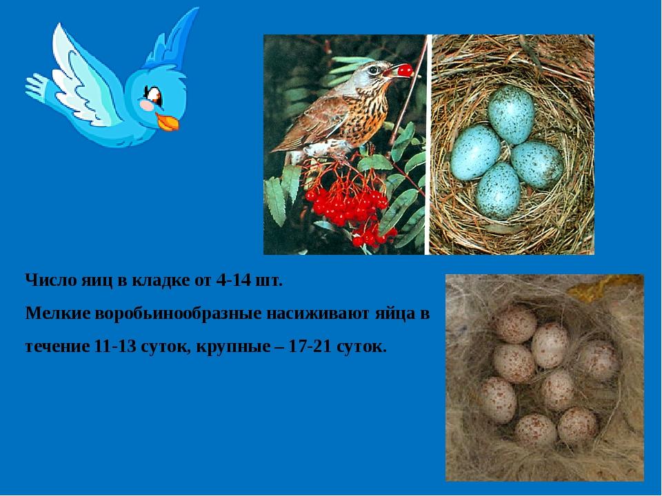 Число яиц в кладке от 4-14 шт. Мелкие воробьинообразные насиживают яйца в теч...
