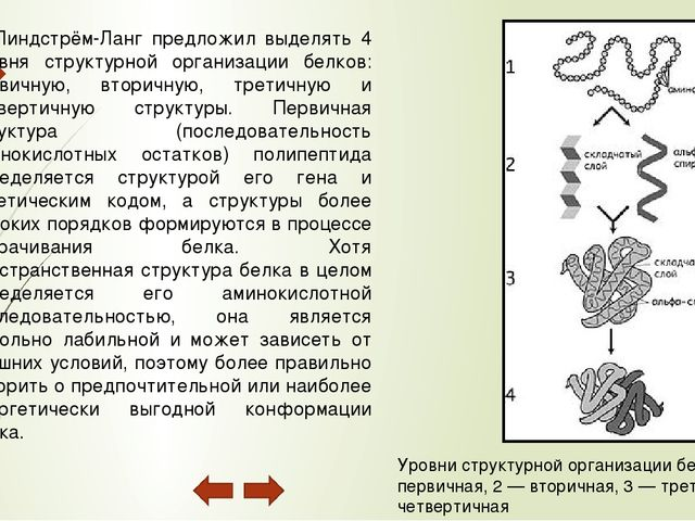 Четвертичная структура (или субъединичная, доменная) — взаимное расположение...