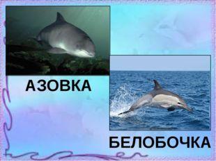 АЗОВКА БЕЛОБОЧКА