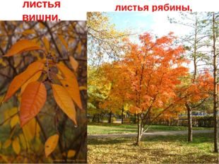 Краснеют листья вишни, листья рябины,