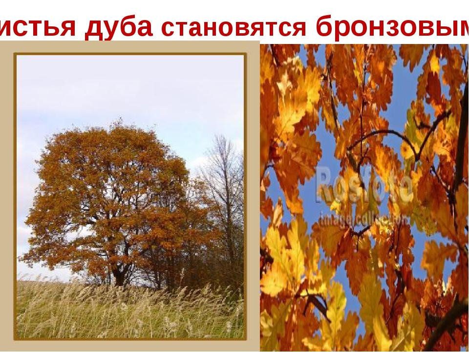 Листья дуба становятся бронзовыми