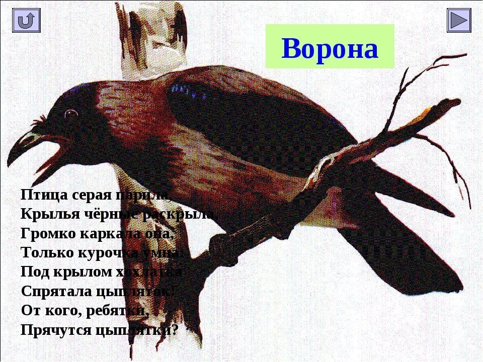 Ворона Птица серая парила, Крылья чёрные раскрыла, Громко каркала она, Только...