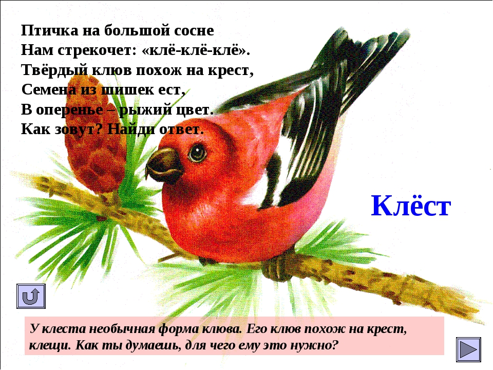 Клёст Птичка на большой сосне Нам стрекочет: «клё-клё-клё». Твёрдый клюв похо...