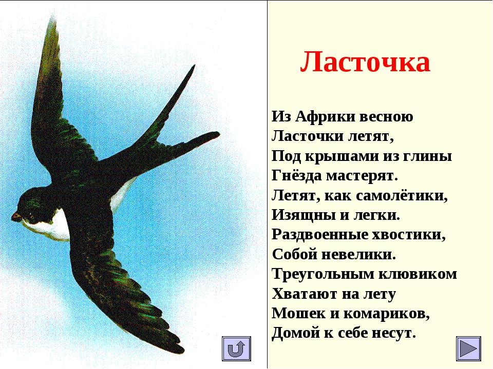 Ласточка Из Африки весною Ласточки летят, Под крышами из глины Гнёзда мастеря...