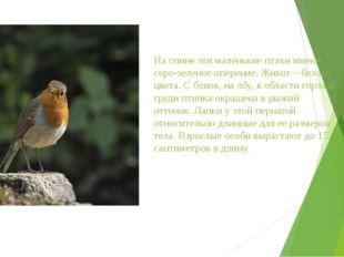 На спине эти маленькие птахи имеют серо-зеленое оперение. Живот – белого цвет