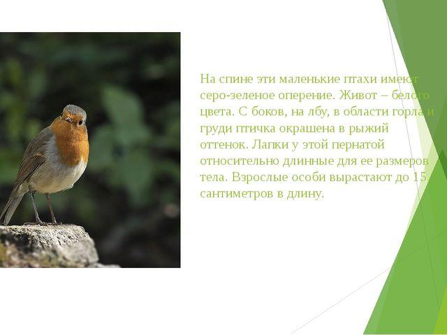 На спине эти маленькие птахи имеют серо-зеленое оперение. Живот – белого цвет...