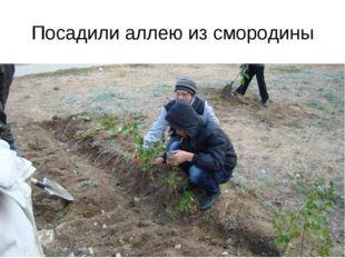 Посадили аллею из смородины