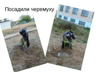 Посадили черемуху