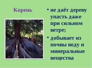 Корень не даёт дереву упасть даже при сильном ветре; добывает из почвы воду и