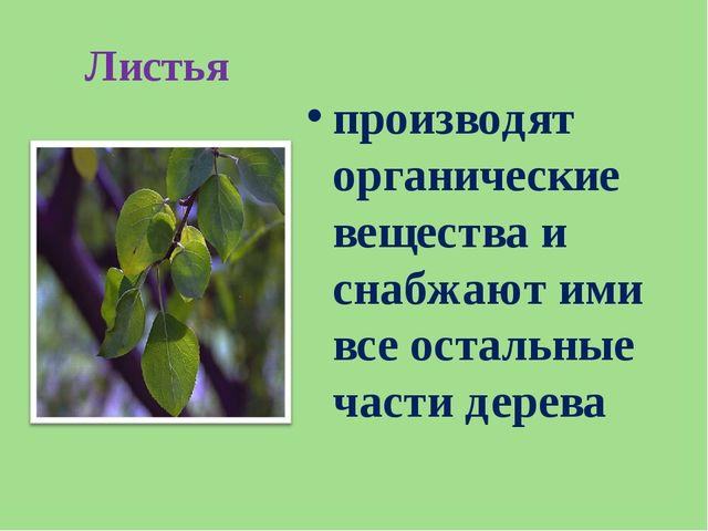 Листья производят органические вещества и снабжают ими все остальные части де...