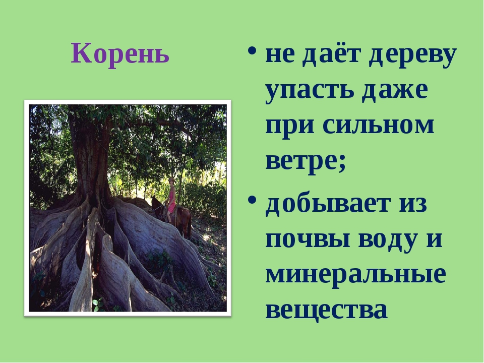 Корень не даёт дереву упасть даже при сильном ветре; добывает из почвы воду и...