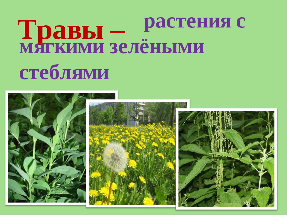 Травы – растения с мягкими зелёными стеблями