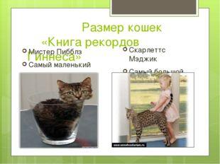 Размер кошек «Книга рекордов Гиннеса» Мистер Пибблз Самый маленький кот 1,3