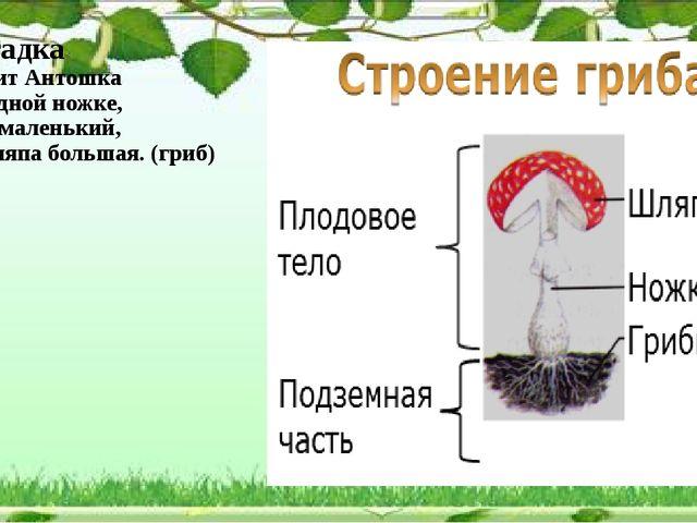 Загадка Стоит Антошка на одной ножке, сам маленький, а шляпа большая. (гриб)...