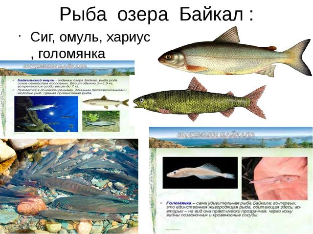 Рыба озера Байкал : Сиг, омуль, хариус , голомянка