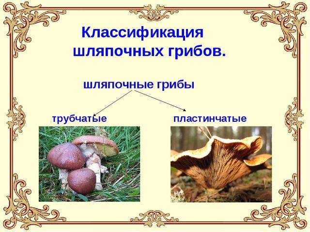Классификация шляпочных грибов. шляпочные грибы трубчатые пластинчатые