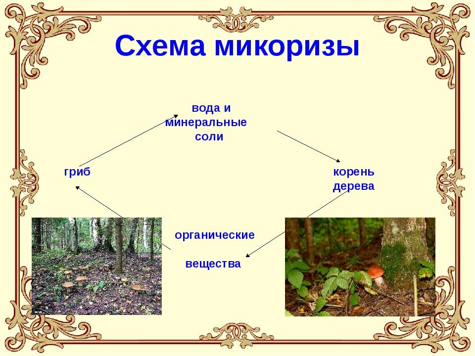 Схема микоризы гриб вода и минеральные соли корень дерева органические вещества