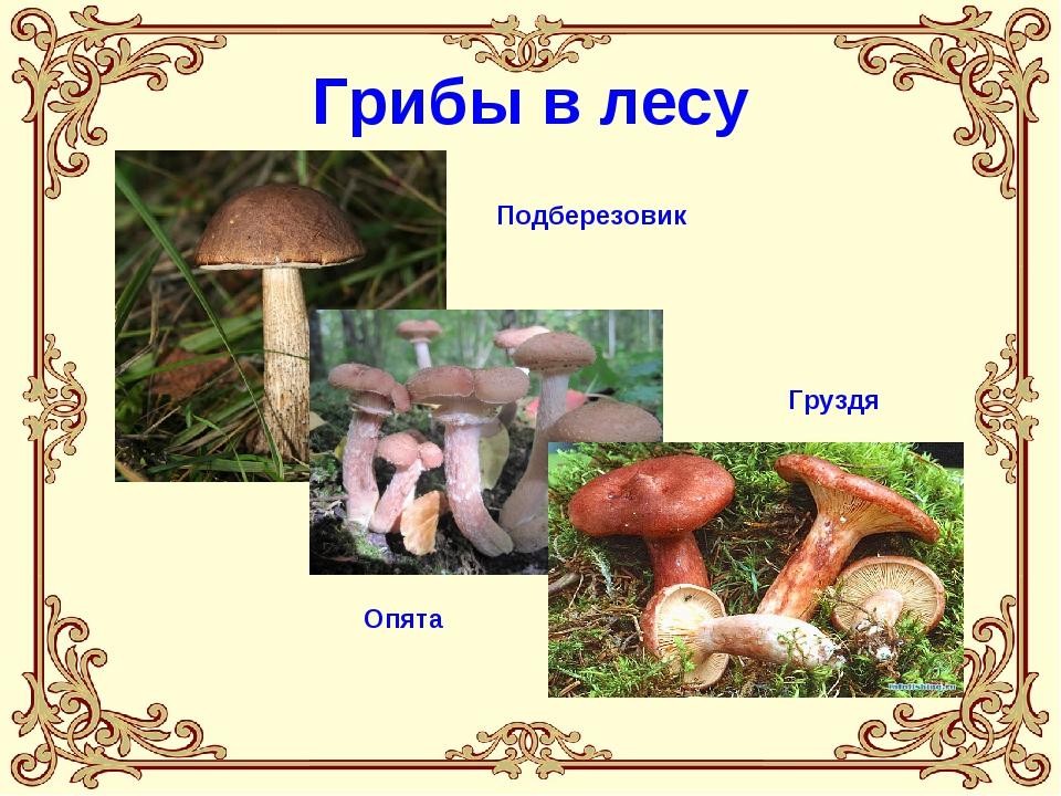 Грибы в лесу Подберезовик Опята Груздя