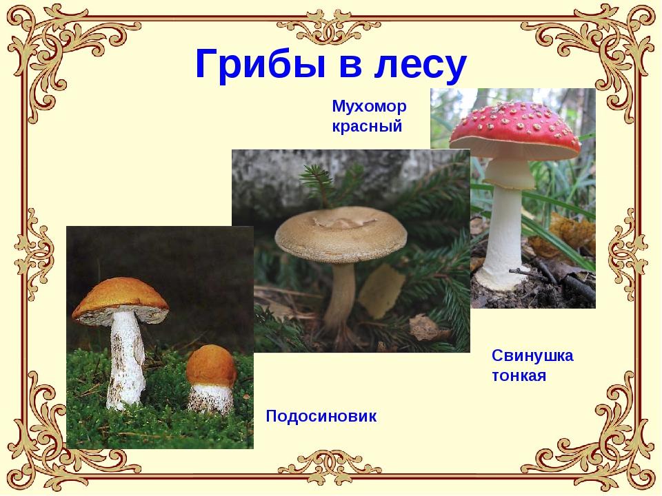 Грибы в лесу Мухомор красный Свинушка тонкая Подосиновик