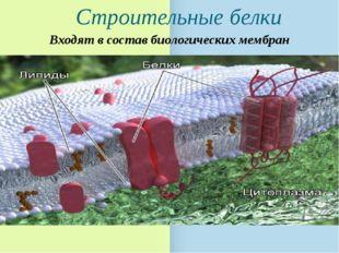 Строительные белки Входят в состав биологических мембран