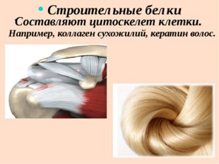 . Строительные белки Например, коллаген сухожилий, кератин волос. Составляют