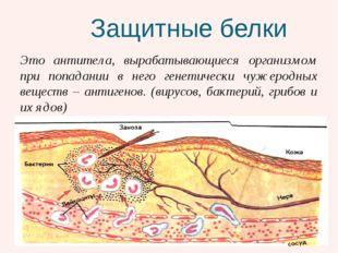 Защитные белки Это антитела, вырабатывающиеся организмом при попадании в нег