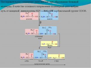 Последовательное соединение аминокислот при образовании белковой молекулы. В
